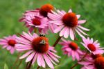 Zioła w służbie zdrowiu: jeżówka (echinacea) wzmacnia odporność i pomaga zagoić rany [© Yanik Chauvin - Fotolia.com]